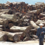 myanmar-burma-logging-trafficking-mining-drugs-opium-government