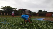 bolivia-coca-leaf-production-drug-war-cocaine