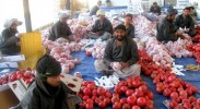 the-pomegranate-cultivated-for-centuries-in-afghanistan-is-a-high-value-crop-that-725x544